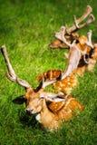 Un groupe de cerfs communs Images libres de droits