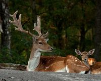 Un groupe de cerfs communs affrichés, avec la daine, le faon et le mâle dans une forêt en Suède images libres de droits