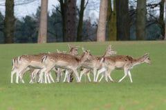 Un groupe de cerfs communs affrichés dans un pré photographie stock