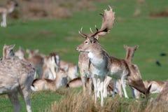 Un groupe de cerfs communs affrichés dans un pré image stock