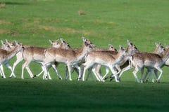 Un groupe de cerfs communs affrichés dans un pré photo stock
