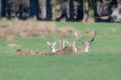 Un groupe de cerfs communs affrichés dans un pré photos libres de droits