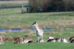 Un groupe de cerfs communs affrichés dans un pré images libres de droits
