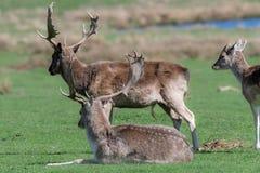 Un groupe de cerfs communs affrichés dans un pré image libre de droits
