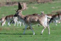 Un groupe de cerfs communs affrichés dans un pré photo libre de droits