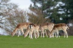 Un groupe de cerfs communs affrich?s dans un pr? image stock