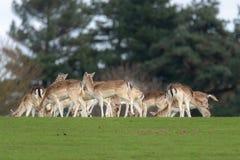 Un groupe de cerfs communs affrich?s dans un pr? images stock