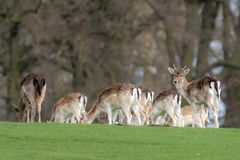 Un groupe de cerfs communs affrich?s dans un pr? photographie stock libre de droits