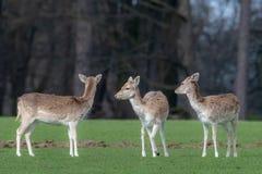 Un groupe de cerfs communs affrich?s dans un pr? photo stock