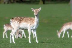 Un groupe de cerfs communs affrich?s dans un pr? photos stock