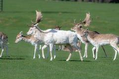 Un groupe de cerfs communs affrich?s dans un pr? image libre de droits