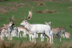 Un groupe de cerfs communs affrich?s dans un pr? images libres de droits