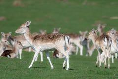 Un groupe de cerfs communs affrich?s dans un pr? photographie stock