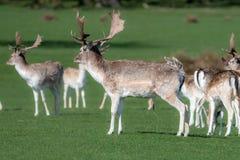 Un groupe de cerfs communs affrich?s dans un pr? photos libres de droits