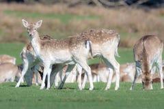 Un groupe de cerfs communs affrich?s dans un pr? photo libre de droits