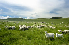 Un groupe de chèvres Photo libre de droits