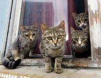 Un groupe de chats gris se reposent sur un filon-couche de fenêtre et regardent l'appareil-photo Photos stock