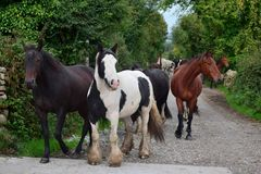 Un groupe de chevaux allant à leur écurie l'irlande images libres de droits