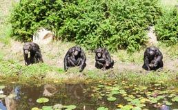 Un groupe de chimpanzés Image libre de droits