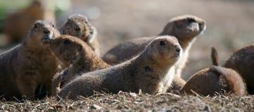 Un groupe de crabots de prairie Photos libres de droits