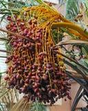 Un groupe de dates sur le palmier dattier photographie stock libre de droits