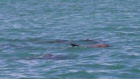 Un groupe de dauphins sur l'océan clips vidéos