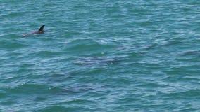 Un groupe de dauphins sur l'océan banque de vidéos