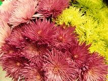 Un groupe de divers asters de floraison comme fond de fleur Images libres de droits