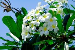 Un groupe de fleur de plumalia Photographie stock libre de droits