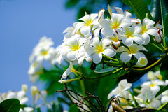 Un groupe de fleur de plumalia photographie stock