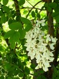 Un groupe de fleurs d'acacia image stock