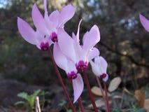 Un groupe de fleurs de cyclamen a arrangé verticalement dans la nature Photos stock