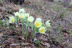 un groupe de fleurs de perce-neige dans la forêt photos stock