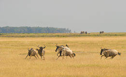 Un groupe de fonctionnement et de jeu de Wildebeest. photo stock