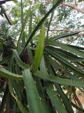 Un groupe de fruit d'ange et de x28 ; Fruit& x29 de dragon ; photos libres de droits