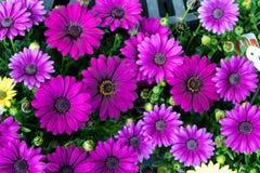 Un groupe de Gerber Daisys Image stock