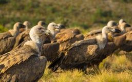 Un groupe de Griffon Vultures se reposant au sol photos stock