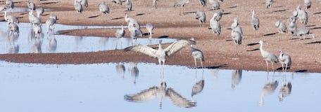 Un groupe de grues de Sandhill par un étang Photo stock