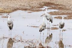 Un groupe de grues de Sandhill à un étang Image stock