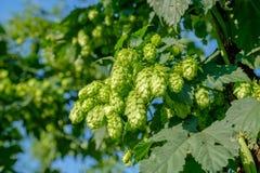 Un groupe de houblon en cônes vert pour faire le plan rapproché de bière Photos stock