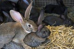 Un groupe de jeunes lapins dans l'élevage Image libre de droits