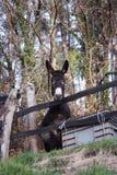 Un groupe de jeunes petits ânes blancs, gris et bruns verrouillés dans leur clôture dans les bois images stock