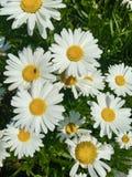 Un groupe de marguerite sauvage de floraison photos stock