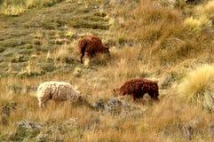 Un groupe de moutons Photos libres de droits