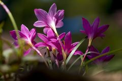 Un groupe de mur sauvage de Lily Flowers Blooming On The photographie stock