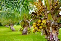 Un groupe de noix de coco mûrissant sur un arbre de noix de coco nain sur la grande île d'Hawaï Photos stock