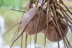 Un groupe de noix de coco sèches Photographie stock libre de droits