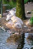 Un groupe de pélicans blancs Photographie stock libre de droits