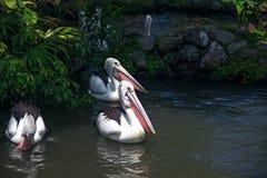 Un groupe de pélicans nage dans l'étang, entouré par l'herbe photographie stock libre de droits