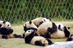 Un groupe de pandas Photographie stock libre de droits
